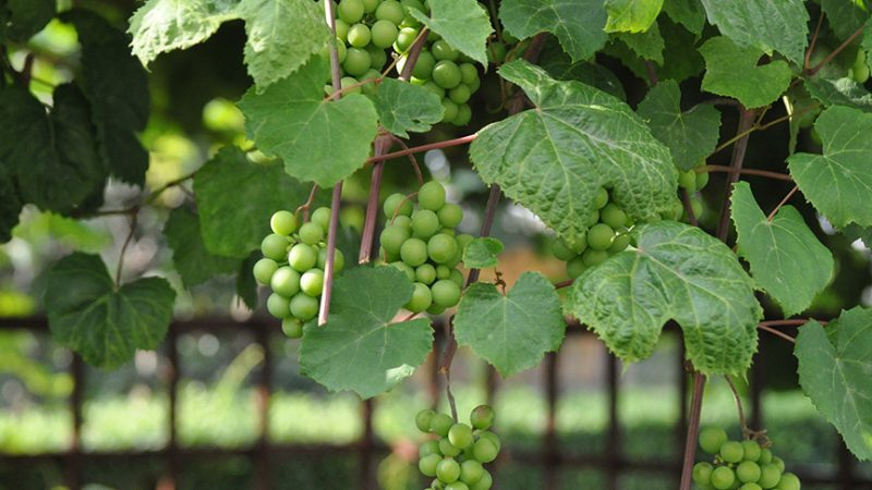 Trump Winery Fires Undocumented Workers — AFTER Harvest Season