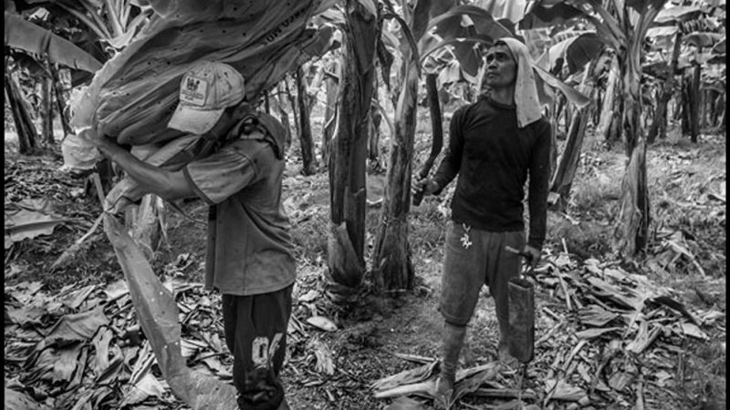 PHILIPPINE BANANA FARMERS: Their Cooperatives and Struggle for Land Reform and Sustainable Agriculture